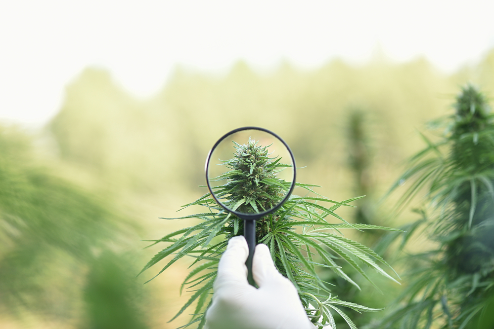 Magnifying glass examining CBD cultivation in outdoor plantation.